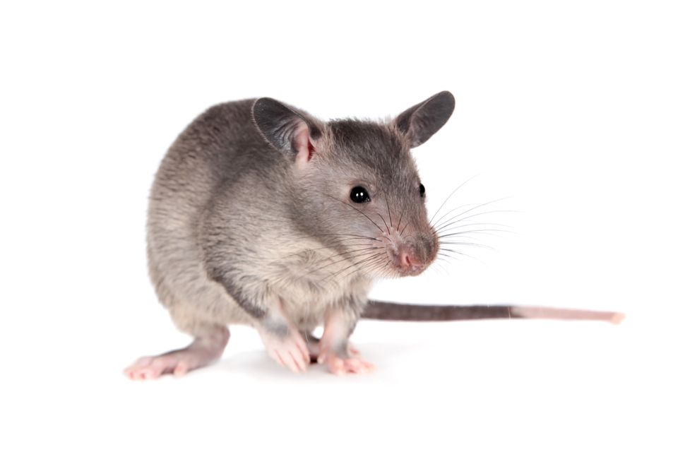 Gambian pouched rat, 3 month old, on white