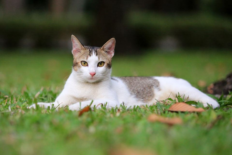 One year old happy cat laying in the park, Vietnam