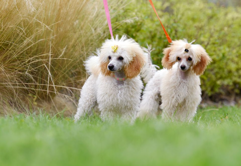 Curly-haired white and tan colored poodles on colorful leaches standing outside