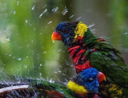 Lorikeets bathing
