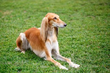 A fawn-colored Saluki dog laying in the grass and looking away from the camera.