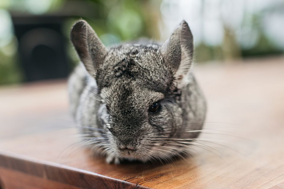 Gray chincilla laying on wooden table closeup