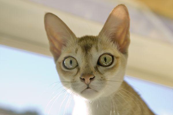 Singapura Cat Profile Picture