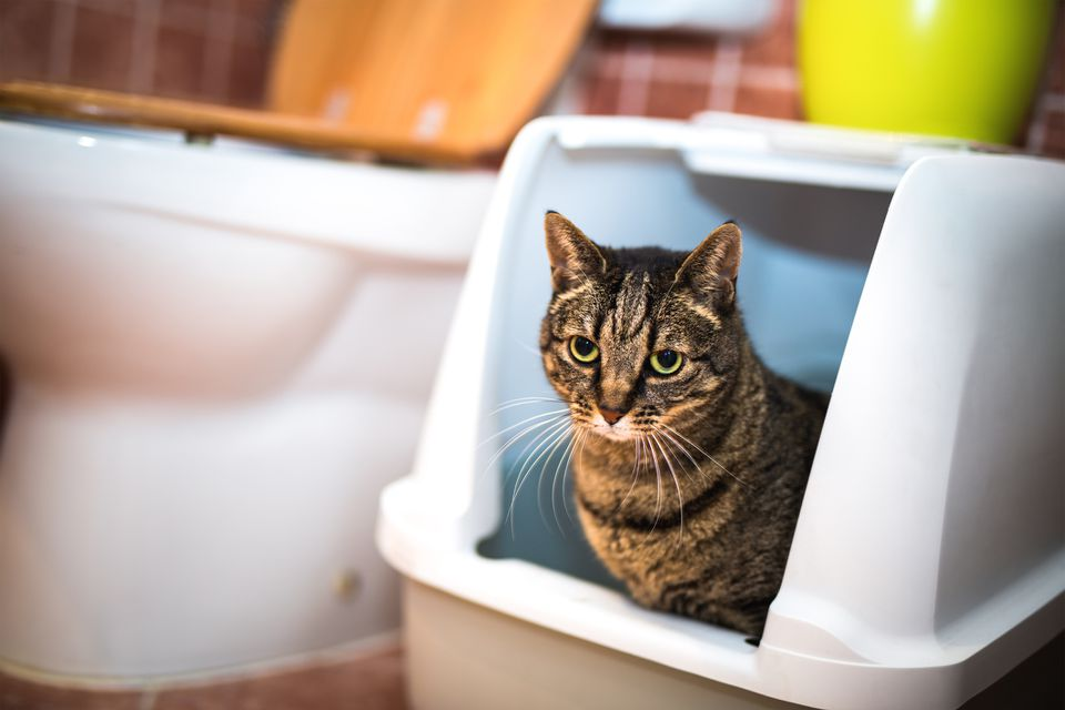 What To Do If There S Blood In Your Cat S Stool