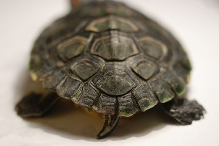 Distinct Differences Mark Male Female >> Determining The Sex Of A Turtle