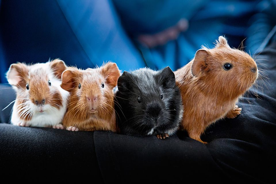 Four guinea pig babies on a blanket.