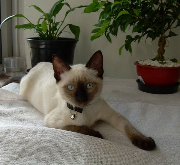 Photo of Siamese cat Luiza