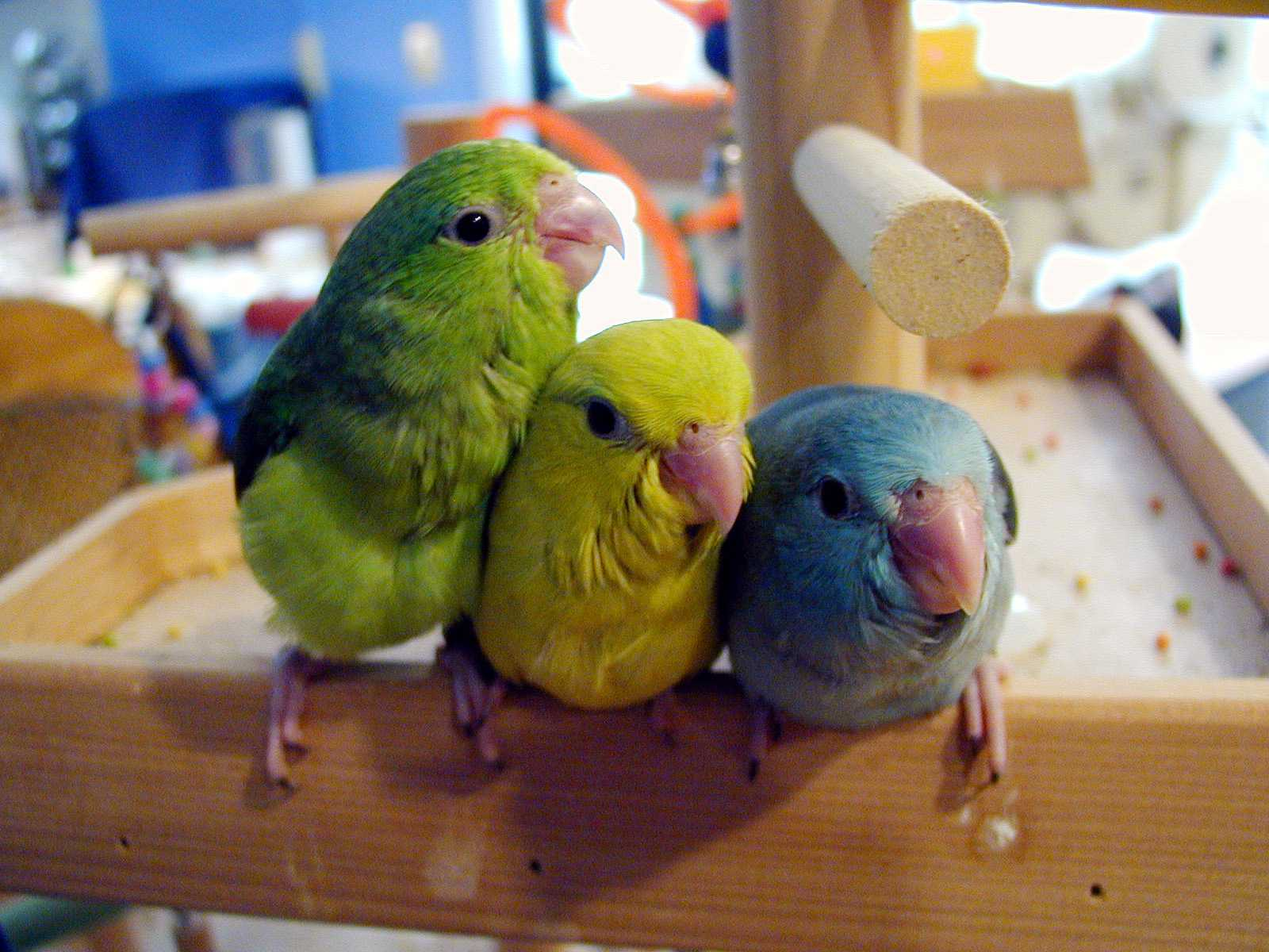 Trio of parrotlets