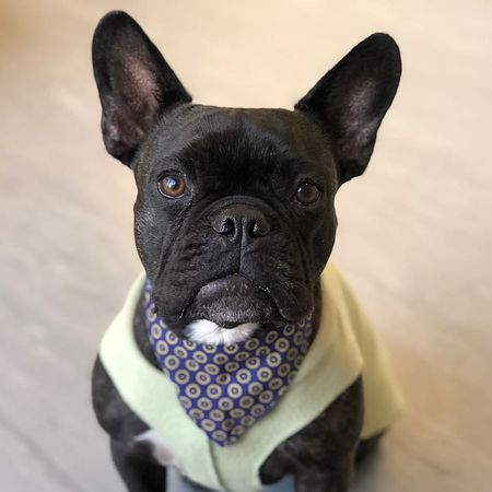 7 Cute Pictures Of French Bulldogs