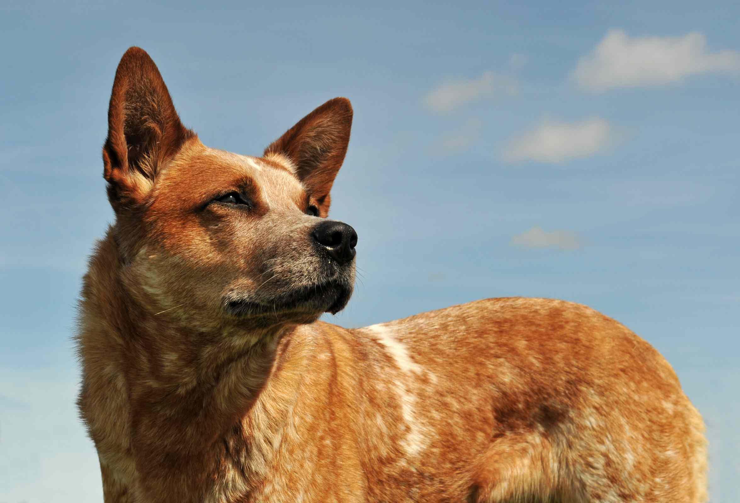 Red Australian cattle dog