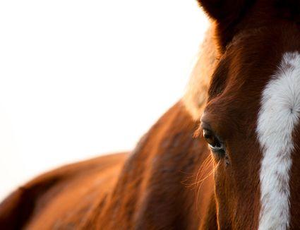Chestnut horse eye close up