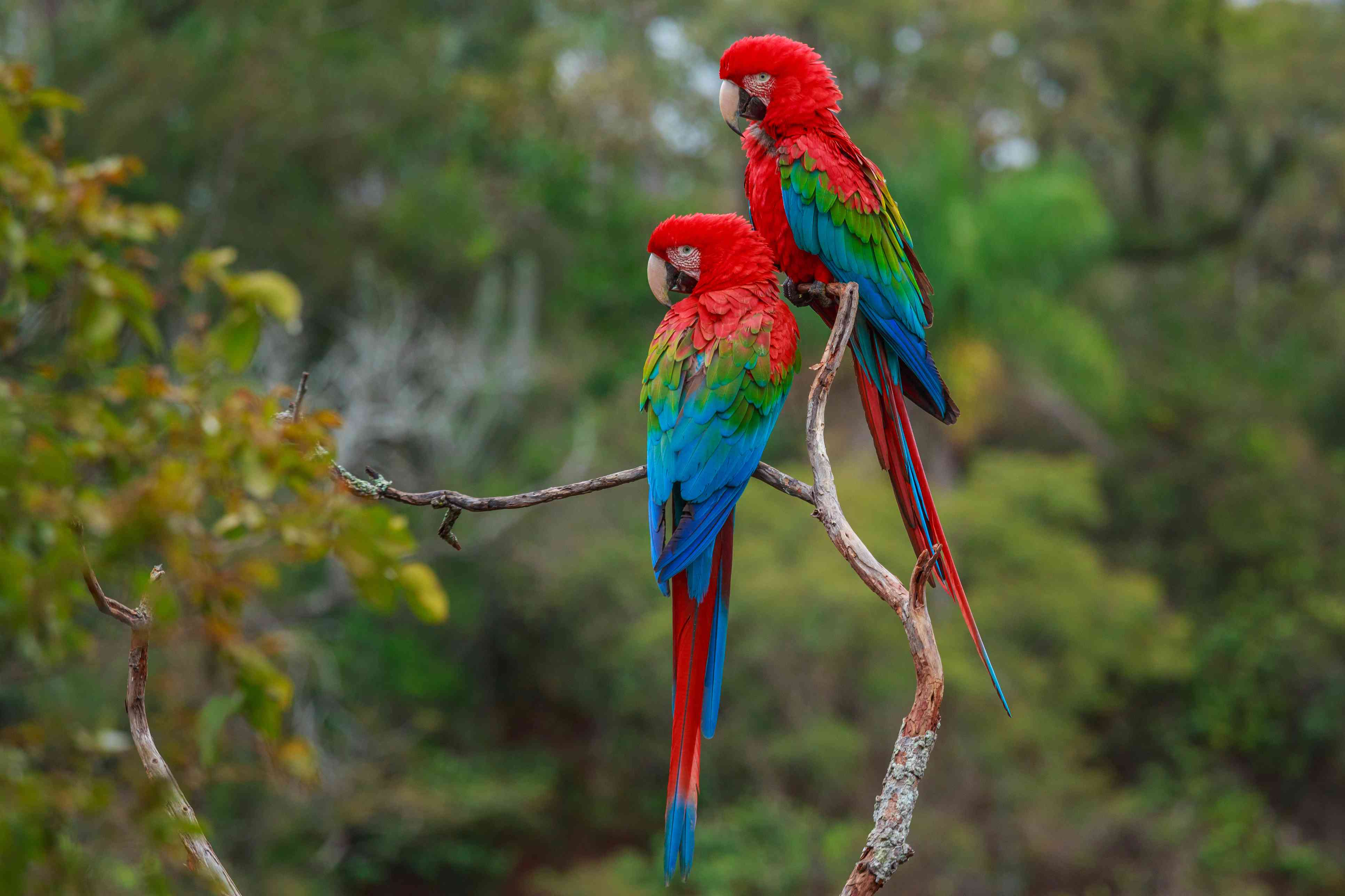 Red-and-green macaws in a tree