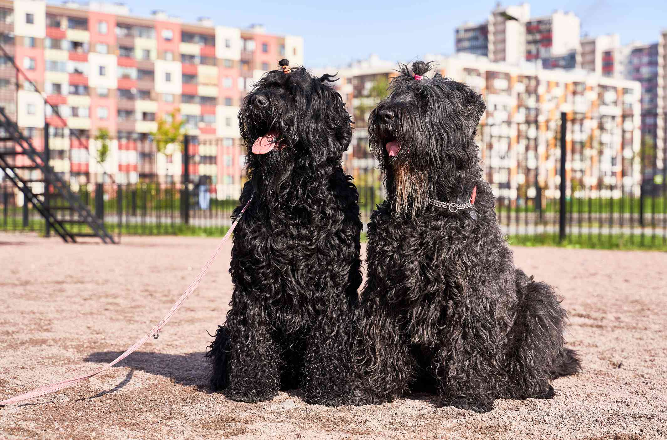 Two black Russian terriers