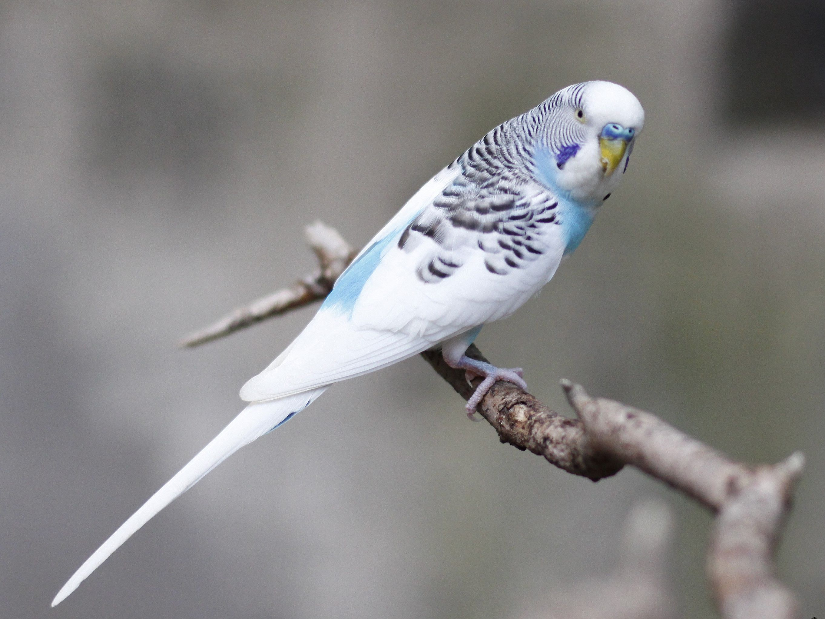 What Are The Differences Between Parakeets And Budgies?