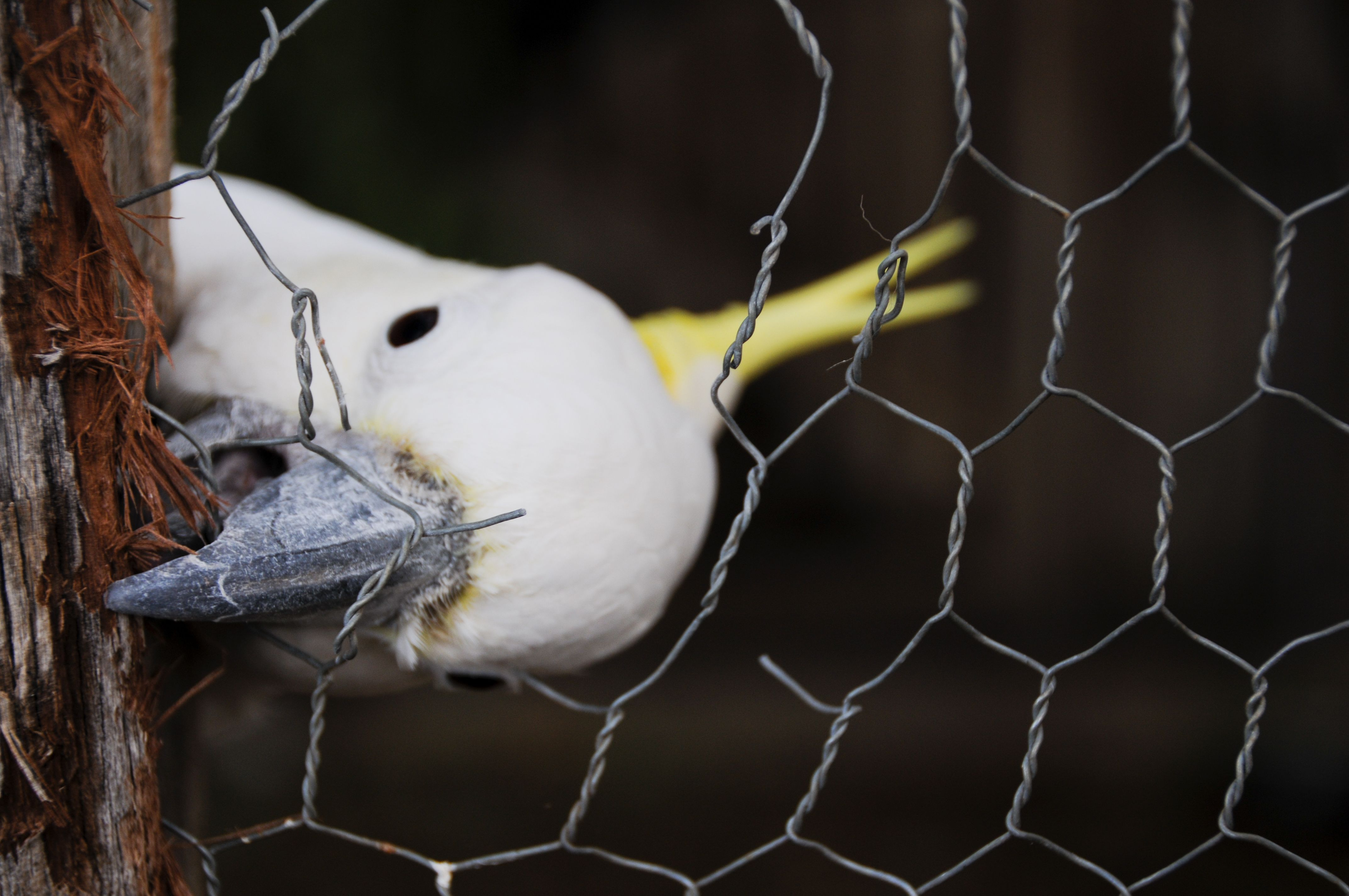 Cheeky Cockatoo Bird Chews Its Escape From Cage