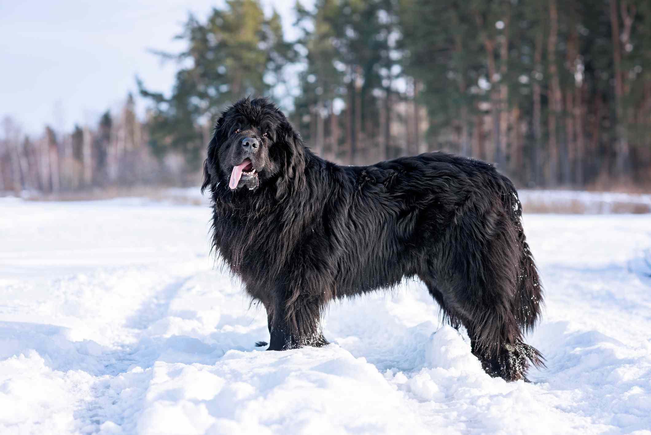 Black Newfoundland standing in snow