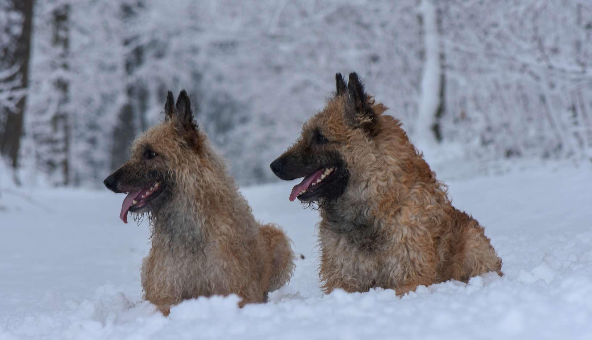 Two Belgian laekenois in snow