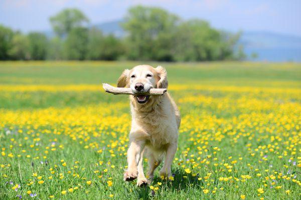 golden retriever running in a field