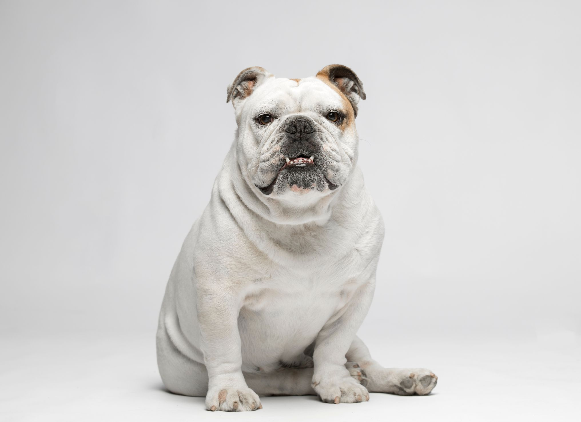 Learn About the Different Bulldog Breeds
