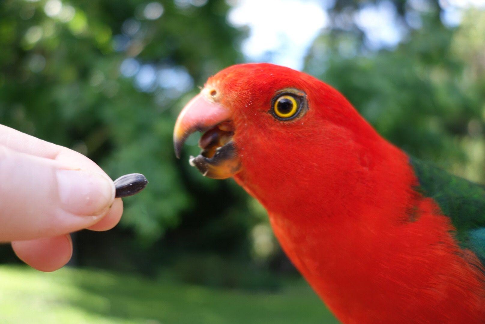 Cropped Image Of Hand Feeding Australian King Parrot