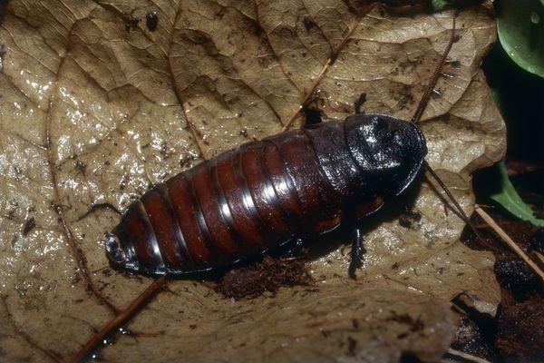 A Madagascar hissing cockroach