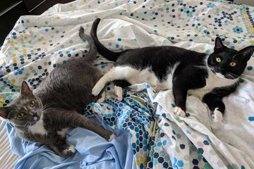 Two tuxedo cats on bed