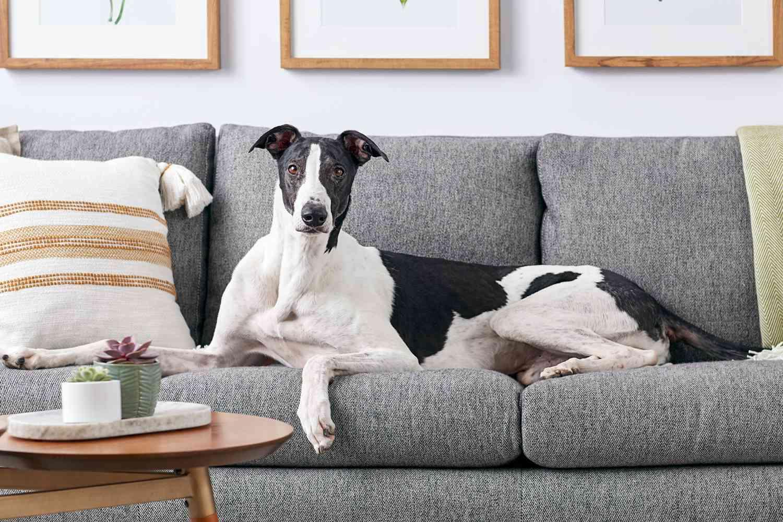 A Greyhound lounging on a sofa