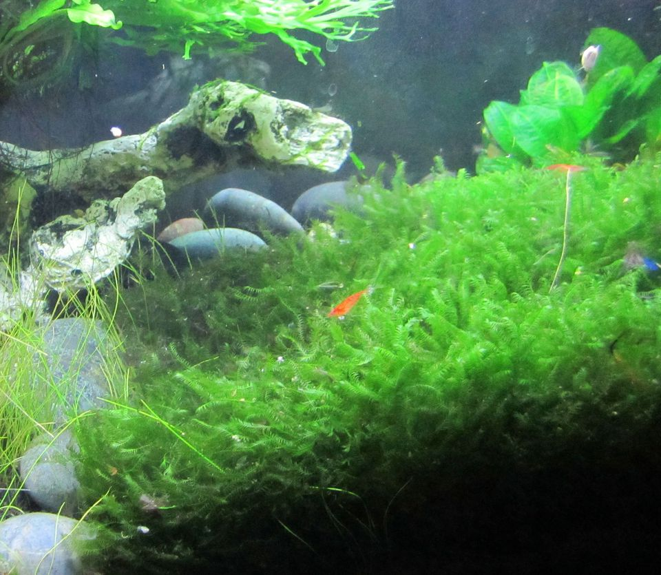 Java Moss - Taxiphyllum barbieri