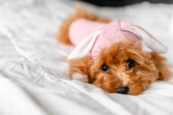 Light brown fluffy dog wearing pink dog clothes on white bed