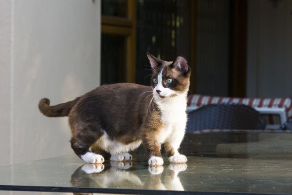 Munchkin cat standing on a table