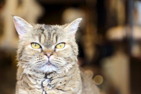 A close-up of a LaPerm cat