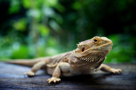 Caring For Your Baby Bearded Dragon