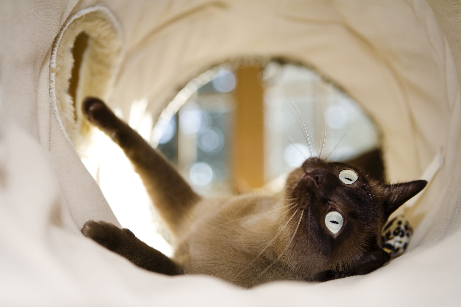 tonkinese cat in a tunnel