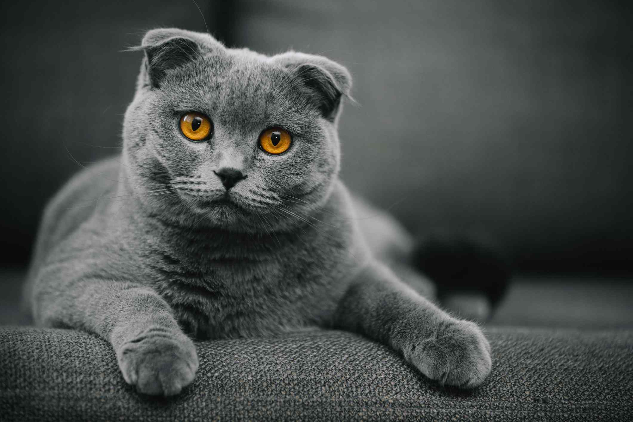 A grey Scottish Fold cat on a grey couch looking at the camera with golden eyes.