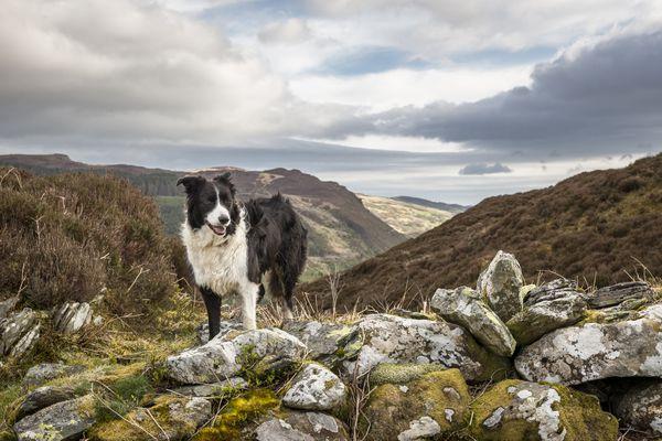 Border collie in Scottish countryside; Scottish dog names