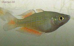 Desert Rainbowfish