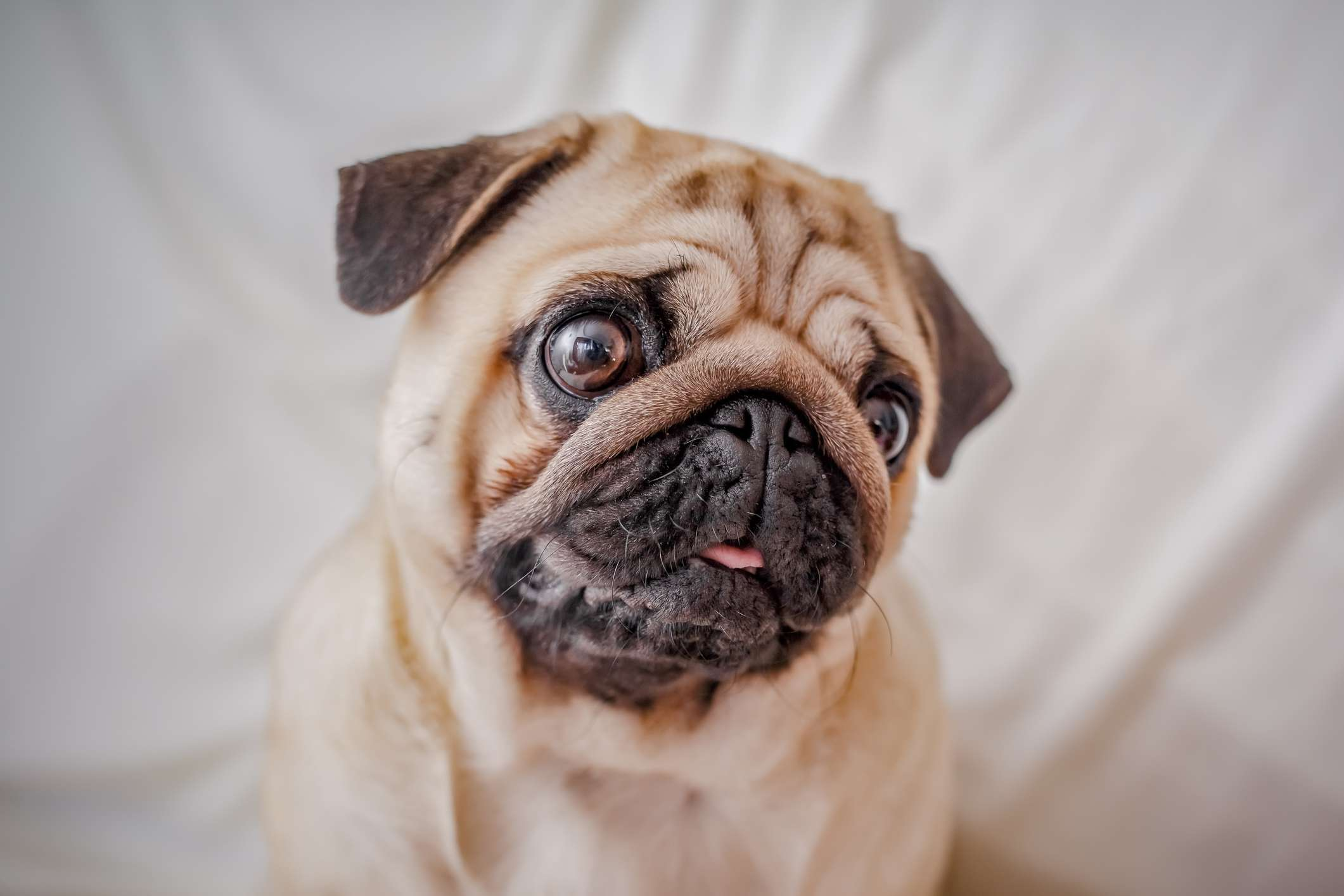 Pug smiling in front of white background.