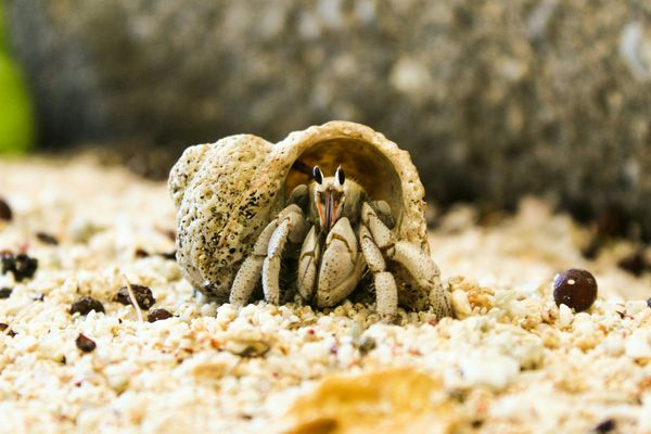A close-up of a hermit crab