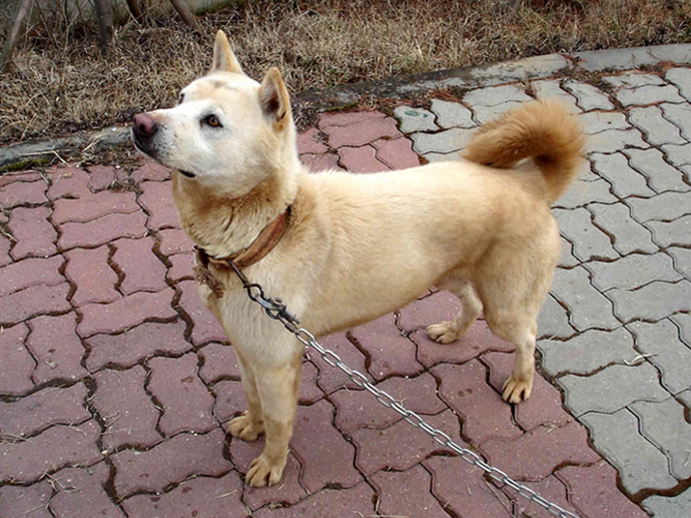 Korean Jindo dog outside