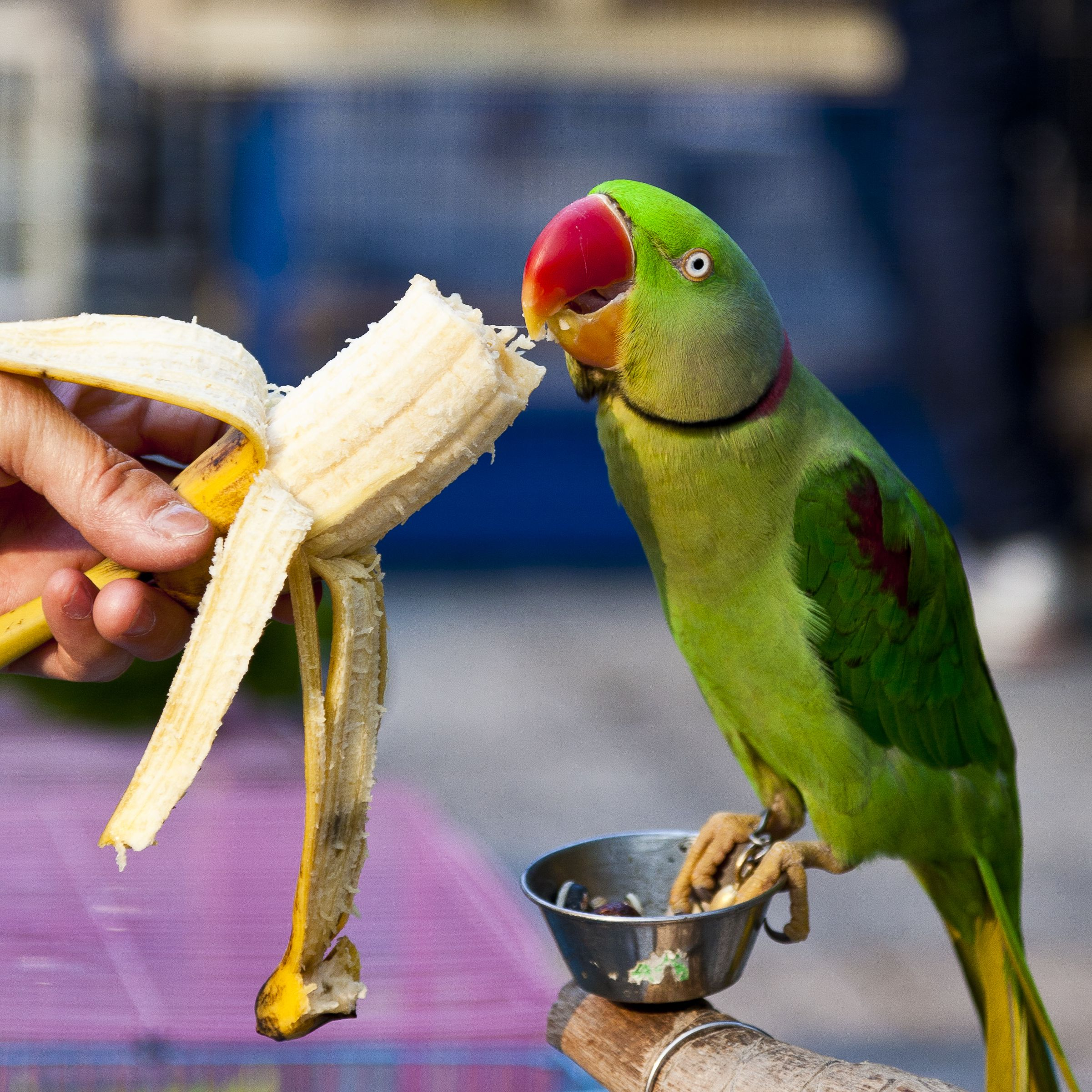 what is the diet of a parrot