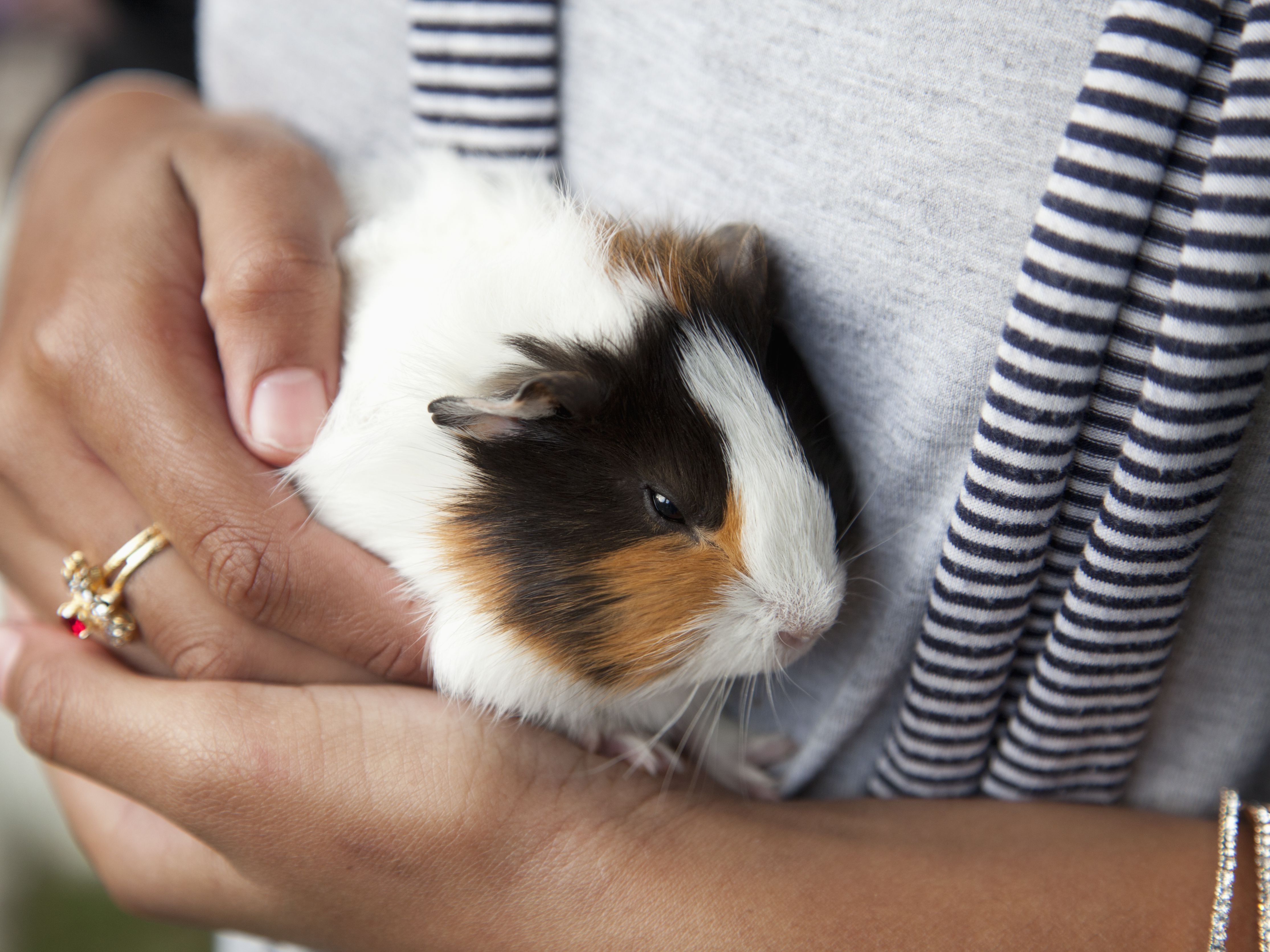 What To Know Before Getting A Pet Guinea Pig