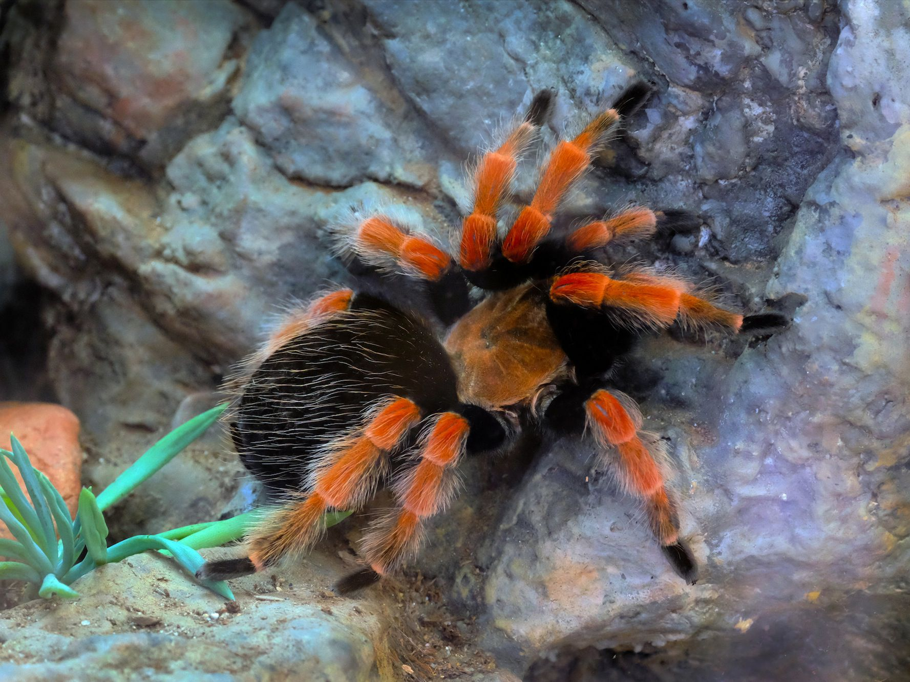 Keeping And Caring For Mexican Red Knee Tarantulas As Pets