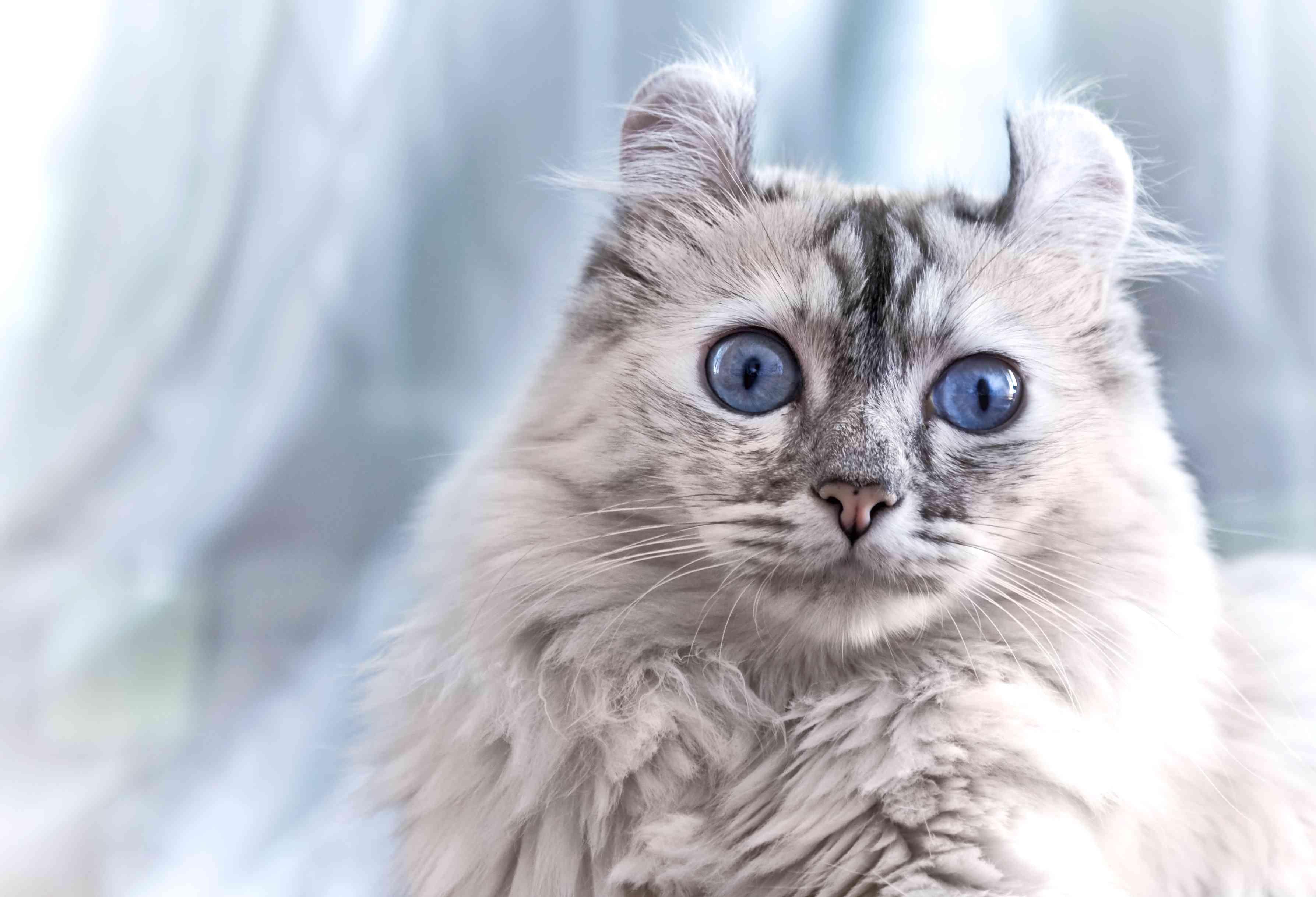 American curl cat breed portrait