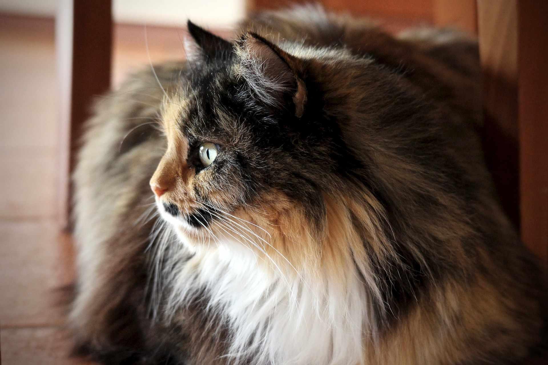 A tri-colored Persian cat.