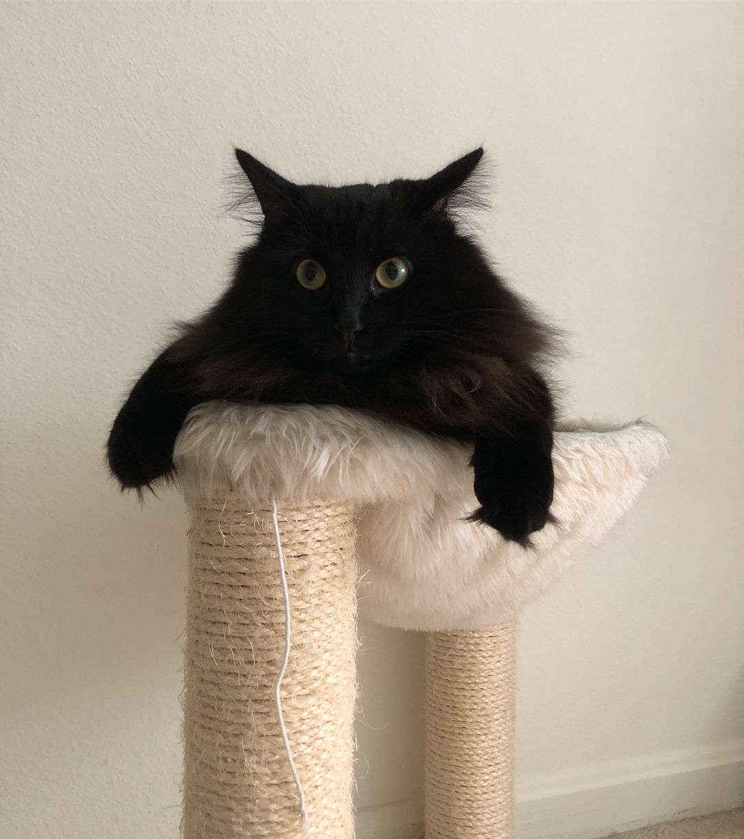 A black Norwegian forest cat on a scratching post.