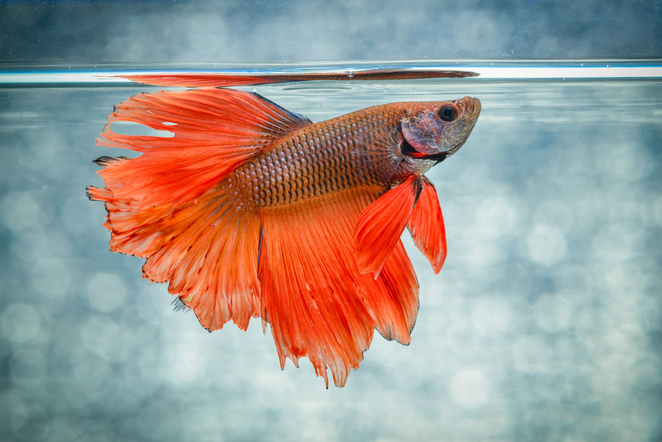 How To Care For Siamese Fighting Fish Betta Fish