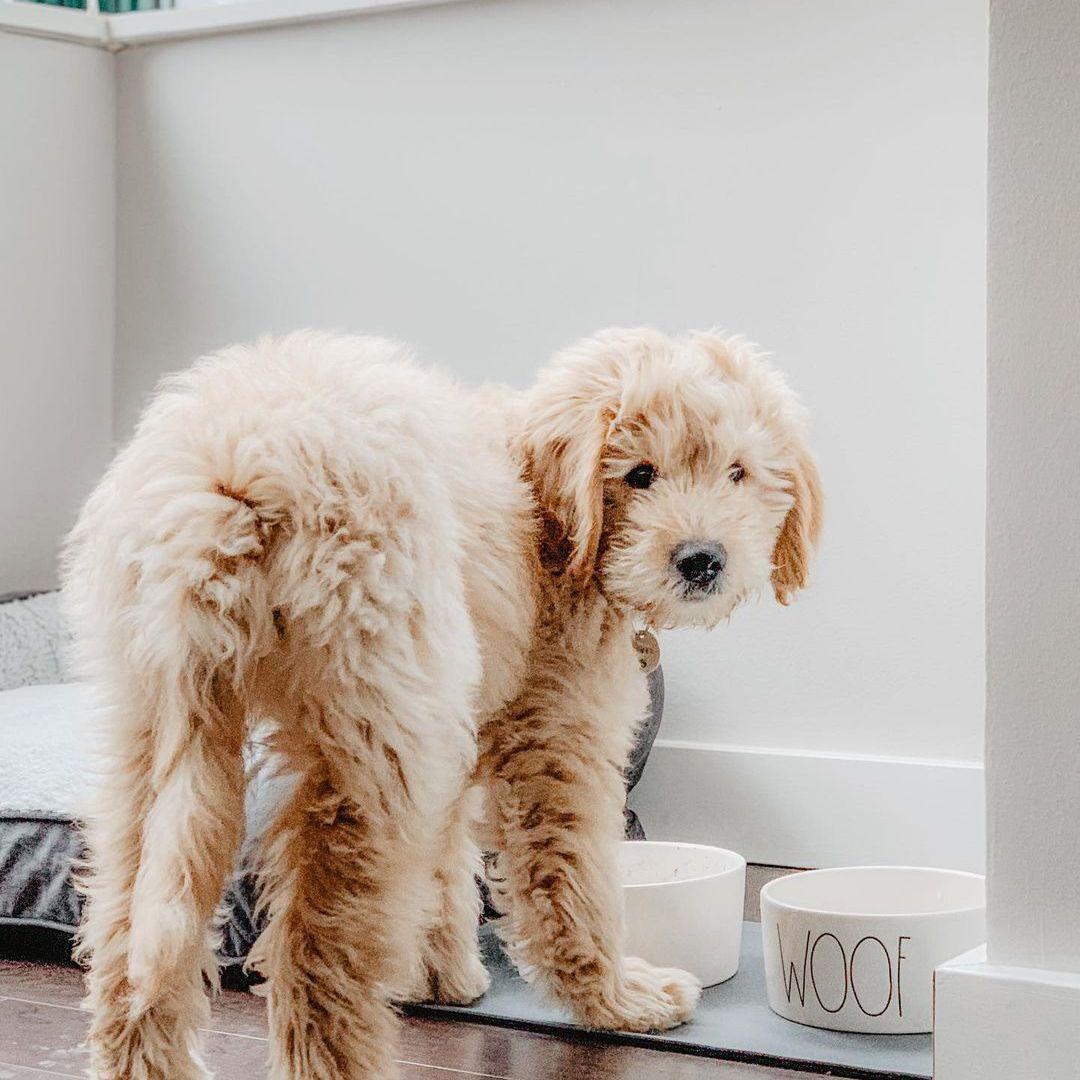 Dog standing in front of bowls; mrkevindoodle instagram