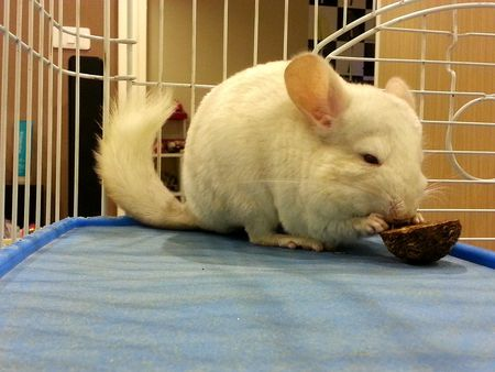 Food Options for Your Pet Chinchilla