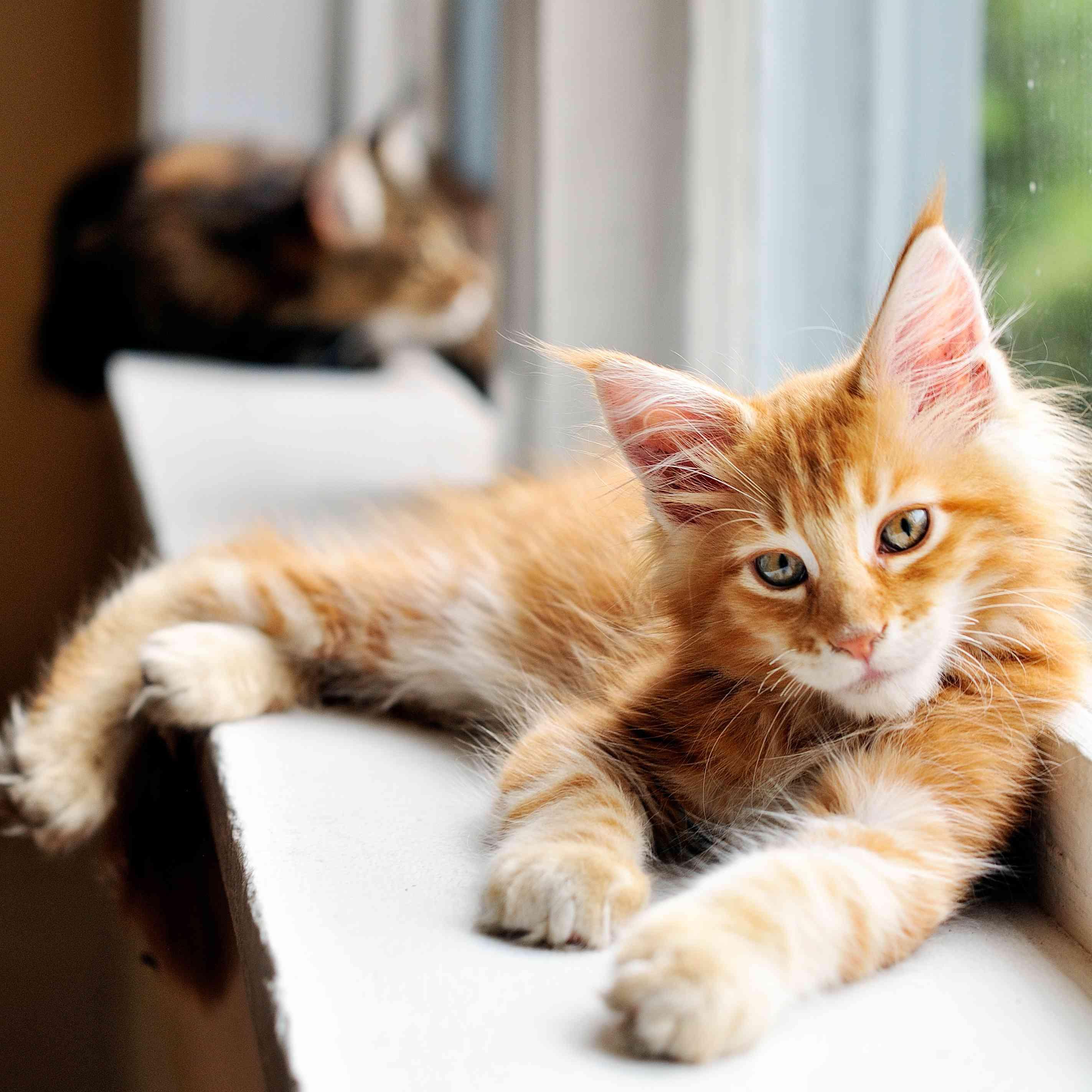 orange Maine coon kitten by a window
