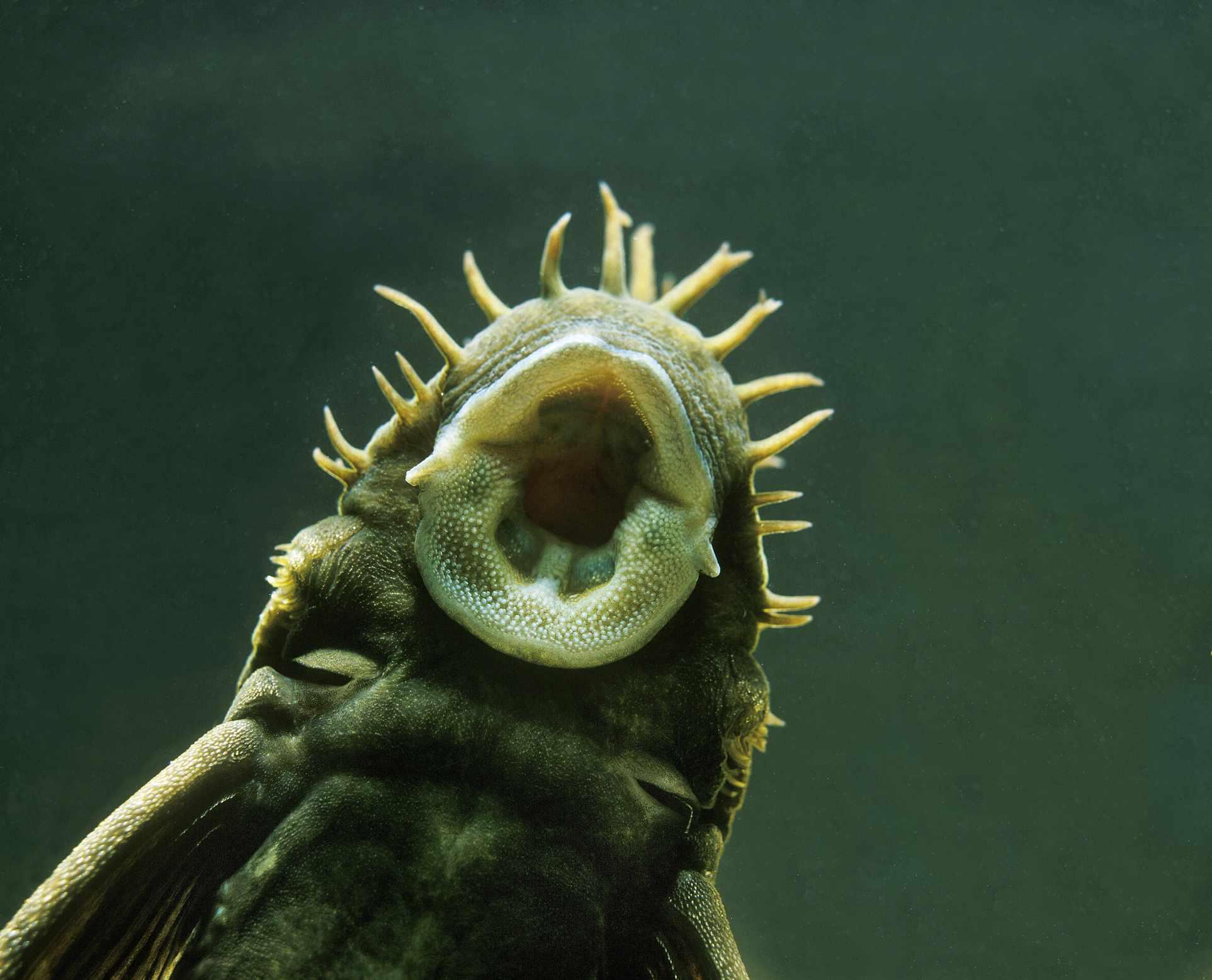 Close up of suckermouth catfish mouth